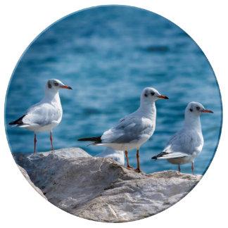 Black-headed gulls, chroicocephalus ridibundus porcelain plate