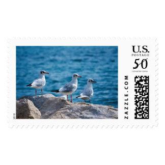 Black-headed gulls, chroicocephalus ridibundus postage