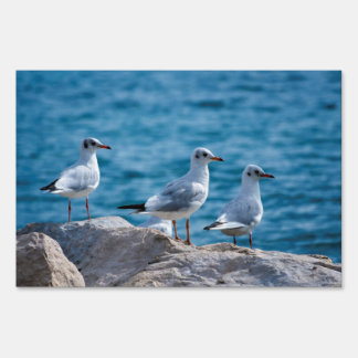 Black-headed gulls, chroicocephalus ridibundus sign