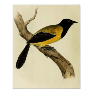 Black Headed Oriole Poster