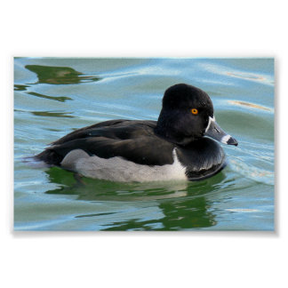 Black Headed Ring-necked sea diving duck Ringbill Poster