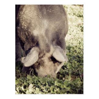 Black Hog Pig Rooting in Grass Postcard