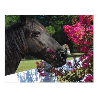 Black Horse Photograph Post Card