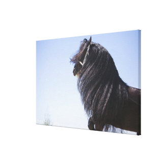 black horse with long mane canvas print