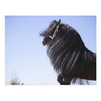black horse with long mane postcard