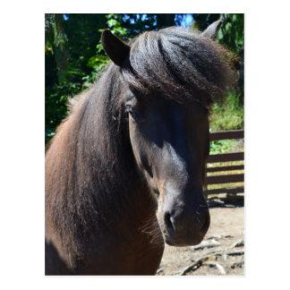 Black Icelandic Horse Postcard