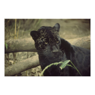 Black_jaguar art poster