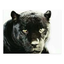 Black Jaguar Panther Postcard
