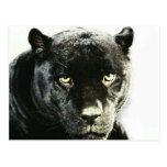 Black Jaguar Panther Postcards