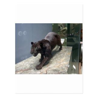 Black Jaguar (Panthera onca) Postcard