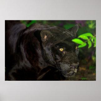 Black Jaguar Prowling Poster