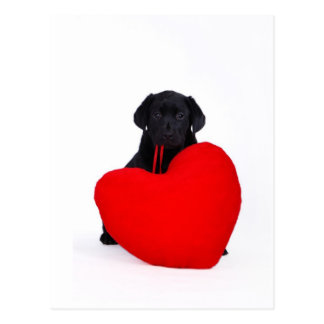 Black lab and heart postcard