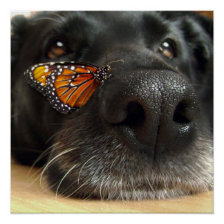BLack Lab Dog With Butterfly Poster