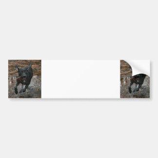 Black Lab Dog with Pinecone running Bumper Sticker
