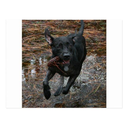 Black Lab Dog with Pinecone running Postcard