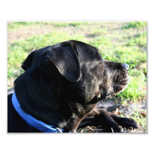 Black Lab Head Turned Away Picture Art Photo