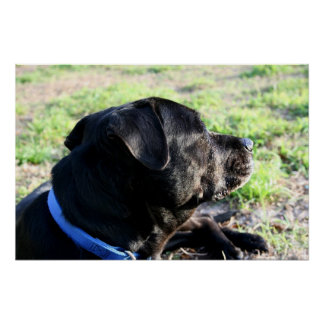 Black Lab Head Turned Away Picture Print