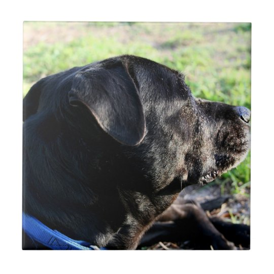 Black Lab Head Turned Away Picture Tile