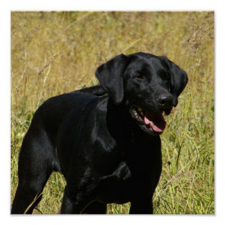 Black Lab in Field Poster