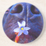 Black lab mix nose, small purple flower picture coasters