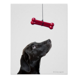 Black lab mixed dog with red dog bone poster