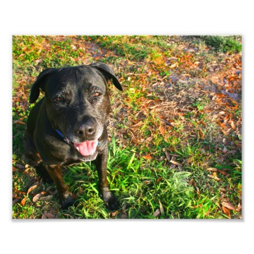 Black Lab on Left Grass on right picture Photograph