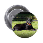 Black Lab Pinback Buttons