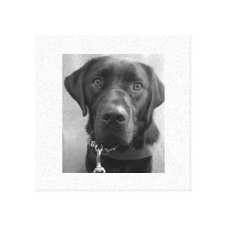 Black Lab Poster Stretched Canvas Print