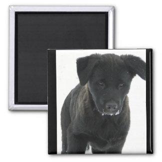 Black Lab puppy Magnets