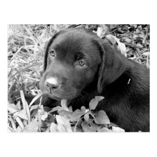 Black lab puppy postcard