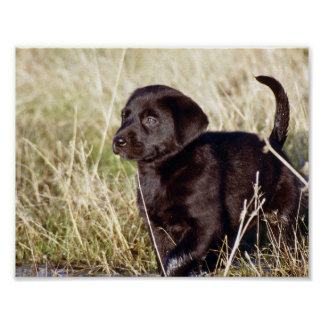 Black Lab Puppy Print