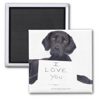 Black Labrador 13 Months Magnet