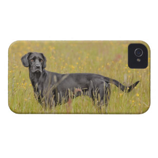 Black labrador 16 Months 2 iPhone 4 Cover