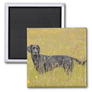 Black labrador 16 Months 2 Magnet