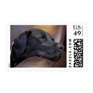 Black labrador asleep on sofa, close-up postage