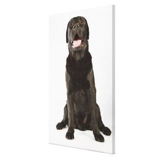 Black Labrador (Canis familiaris), panting, Canvas Print