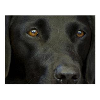 Black Labrador Dog Post Card
