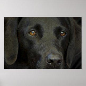 Black Labrador Dog Print print