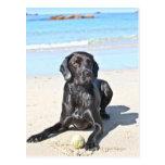 Black Labrador Dog sitting on the Beach Post Cards
