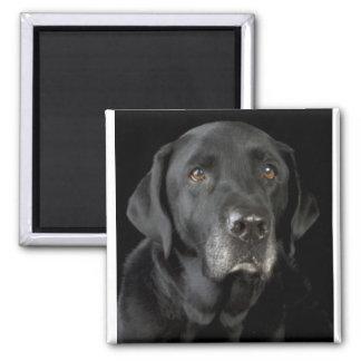 Black Labrador Fridge Magnet