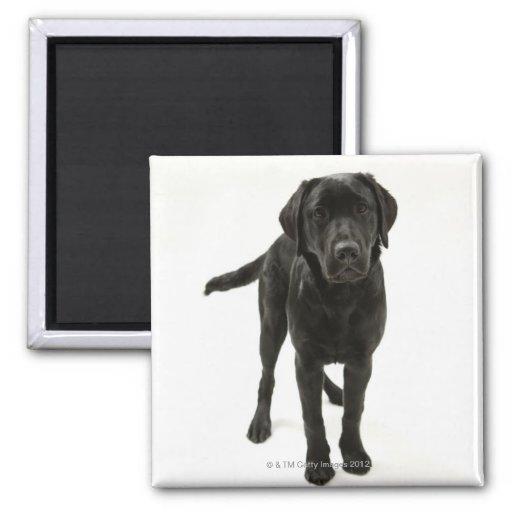 Black labrador retriever fridge magnet