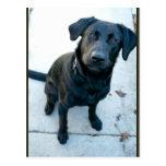 Black Labrador Retriever Post Cards
