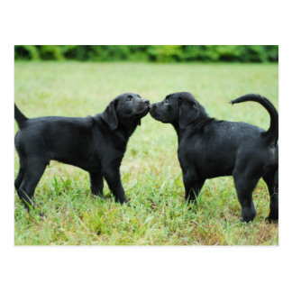 Black Labrador Retriever Postcard