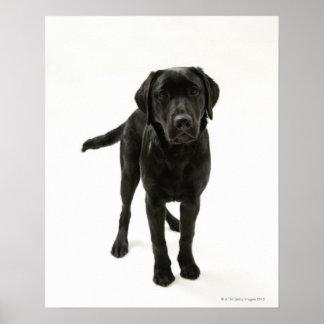 Black labrador retriever poster