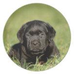 Black labrador retriever puppy party plate