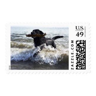 Black Labrador retriever running through surf, Postage