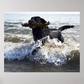 Black Labrador retriever running through surf, Print