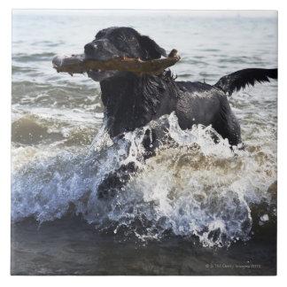 Black Labrador retriever running through surf, Tile