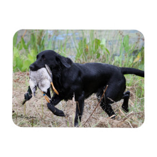 Black Labrador Retriever with duck magnet