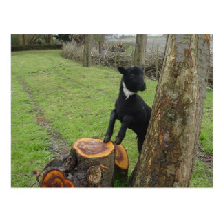 Black Lamb Postcard